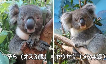 日本のコアラ「そら」くんが繁殖目的で香港に登場!
