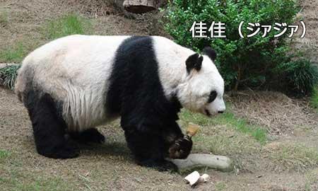 長寿パンダ