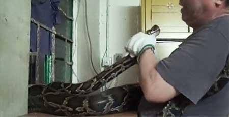 ニシキヘビが住居侵入 コブラも生息する香港ヘビ事情