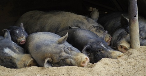 アフリカ豚コレラ