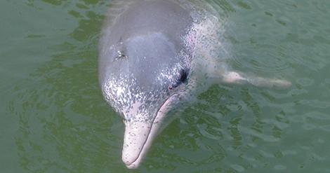 ピンクイルカの生存確認がわずか37頭に